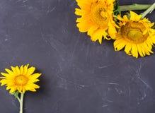 Большие яркие желтые солнцецветы стоковая фотография rf