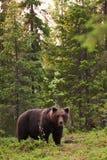 Большие arctos Ursus бурого медведя в лесе Стоковое Изображение