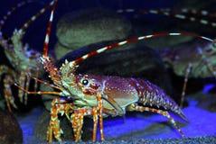 большие crayfish стоковые фото