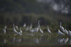 Большие Egrets в озере Стоковое Изображение RF