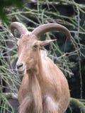 большие horned овцы Стоковое Изображение