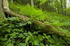 большие mtns mayapple тонут закоптелое whiteoak весны Стоковые Изображения