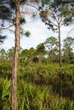 большие pinelands кипариса Стоковая Фотография RF