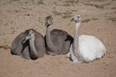 большие rheas группы Стоковая Фотография RF