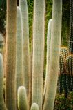 Большие senilis Cephalocereus кактуса с длинными волосами стоковое изображение