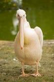 большие waterfowl пеликана Стоковая Фотография RF