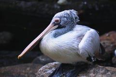 Больший белый пеликан стоковое фото