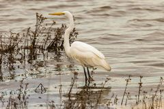 Больший белый Egret на заболоченных местах стоковые фотографии rf