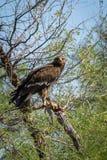 Больший запятнанный орел или портрет запятнанные орел или clanga Clanga сидя на окуне с колючей замкнутой ящерицей стоковое фото