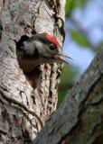 Больший запятнанный цыпленок Woodpecker вызывая для еды стоковая фотография rf