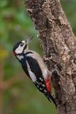 Больший запятнанный Woodpecker, Dendrocopos главное сидит на ветви дерева, где-то стоковое изображение