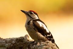 Больший запятнанный Woodpecker, Dendrocopos главное сидит на ветви дерева, где-то в лесе, красочном стоковые изображения