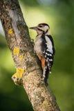 Больший запятнанный Woodpecker, Dendrocopos главное сидит на ветви дерева стоковое изображение rf