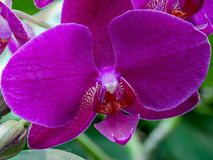 Больший конец-вверх пурпурной орхидеи стоковые фотографии rf