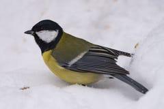Больший майор Parus синицы - птица семьи titmouse в своем n стоковое изображение rf