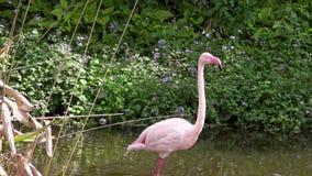 больший фламинго 4K идя на воду среди деревьев Roseus Phoenicopterus сток-видео