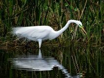 Больший Egret, в разводить оперение, наслаждаясь тихим утром стоковое фото