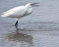 Больший Egret есть креветку стоковые фото