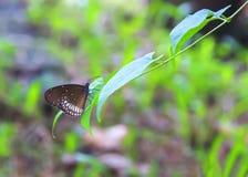 Большинств красота buterrfly в Шри-Ланка стоковые изображения rf