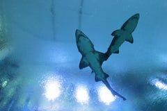 2 больших белых акулы в воде Стоковое Изображение RF