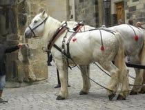 2 больших белых лошади кудели в Германии стоковое фото