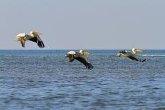 3 больших белых пеликана летая над морем Стоковые Изображения