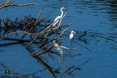 2 больших белых egrets деля кучу древесины смещения Стоковые Фото