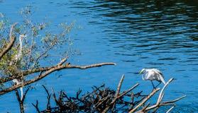 2 больших белых egrets деля кучу древесины смещения Стоковые Фотографии RF