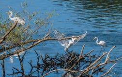 3 больших белых egrets деля кучу древесины смещения Стоковые Изображения RF