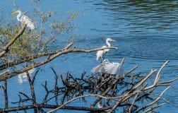 3 больших белых egrets деля кучу древесины смещения Стоковые Изображения