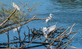 3 больших белых egrets деля кучу древесины смещения Стоковая Фотография RF