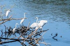 4 больших белых egrets деля кучу древесины смещения Стоковые Фото