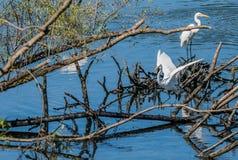 2 больших белых egrets на куче древесины смещения Стоковые Фотографии RF