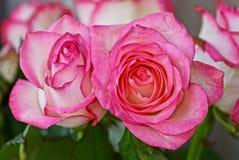 2 больших бутона белых красных роз Стоковая Фотография