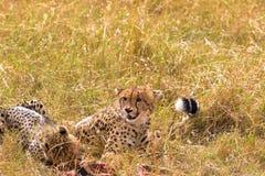 2 больших гепарда едят добычу masai Кении mara стоковые фотографии rf