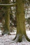 2 больших елевых дерева в лесе в зиме Стоковые Изображения