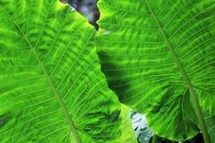 2 больших листь зеленого цвета Стоковое Изображение