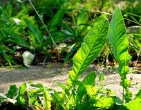 2 больших листь одуванчика подсвеченного по солнцу в парке города Стоковое Изображение