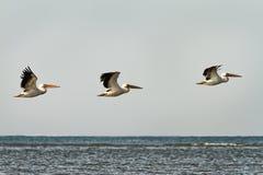 3 больших пеликана в полете над водой Стоковое фото RF