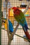 2 больших пестротканых попугая в клетке Стоковые Фотографии RF