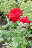 2 больших раскрытых бутона ярких роз шарлаха Стоковые Изображения RF