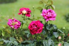 4 больших розы Стоковое Изображение