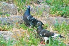 2 больших серых голубя стоя на камнях предусматриванных с зеленым g Стоковые Фото