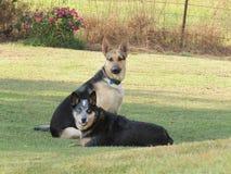 2 больших собаки, собаки вахты, в сельском дворе фермы Стоковые Фото