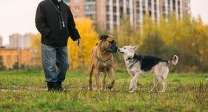 2 больших собаки и предприниматель на городской лужайке Стоковые Изображения