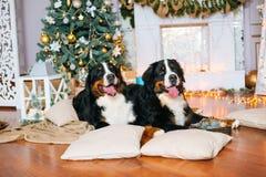 2 больших собаки лежат дома камином Стоковые Изображения RF
