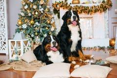 2 больших собаки лежат дома камином Стоковое Изображение RF