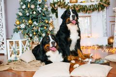 2 больших собаки лежат дома камином Стоковые Фотографии RF