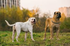 2 больших собаки на городской лужайке Стоковое Фото