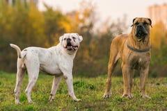 2 больших собаки на городской лужайке Стоковое Изображение